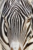 Grevys Zebra cara Close Up