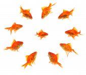 Larger Goldfish Group Around Smaller Goldfish