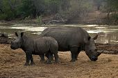 Rhinoceros with young