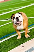 Bulldog On Football Field