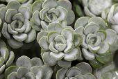 Sedum spathulifolium 'Cape Blanco' plant