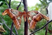 Atlas moth Latin name Attacus atlas
