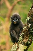 Young Spectacled Langur Sitting In A Tree, Ang Thong National Marine Park, Thailand