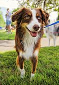 stock photo of herding dog  - a cute dog at a local park - JPG
