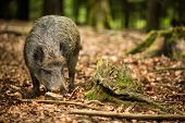 stock photo of biodiversity  - Wild boar  - JPG