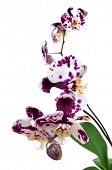 a polka dot Phalaenopsis orchid on a white background