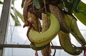 stock photo of nepenthes  - Tropical Pitcher Plant  - JPG