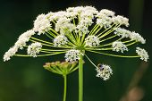 Cow Parsley Flower With A Bumblebee