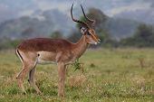 foto of antelope  - Handsome and alert Impala antelope ram or buck with long horns - JPG