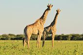 Giraffe Background - Wildlife from Africa - Harmony of Summer