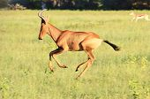 Red Hartebeest - Wildlife Background from Africa - Run of Red