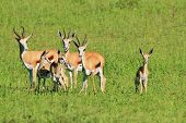 Wildlife from Africa - Springbok Background - Baby Animals and their Moms
