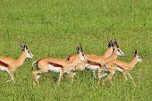Wildlife Background from Africa - Springbok run