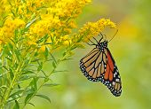 stock photo of goldenrod  - Monarch butterfly - JPG