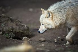 stock photo of horrific  - Arctic Wolf  - JPG