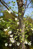 picture of dogwood  - White flowering dogwood tree (Cornus florida), Japan ** Note: Shallow depth of field - JPG