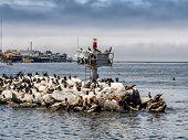 Sea Lions And Kormorans In Monterey Harbor, California