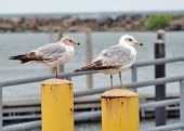 Lake Gulls Perched