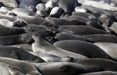 Elephant Seals, California Coast