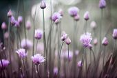 stock photo of chive  - Purple flowers of flowering chives in garden - JPG