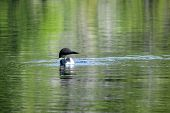 picture of loon  - A loon swimming in the calm waters of Bell Lake - JPG