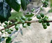 Fresh Coffee Beans On Coffee Tree