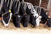 pic of dairy barn  - cows in a farm - JPG