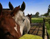 horses_closeup