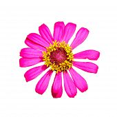 Isolated Top View Of Pink Zinnia Flower