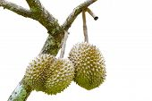 Isolated Durians With Tree