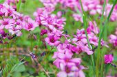 Close up of pink woodsorrel flowers (Oxalis corymbosa)