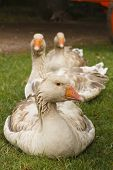 Three geese in a row on a farm