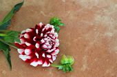 Dahlia on terracotta surface with copy space