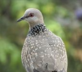 confused common Indian dove