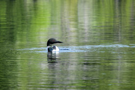 pic of loon  - A loon swimming in the calm waters of Bell Lake - JPG