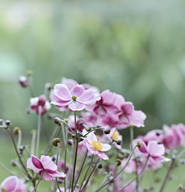picture of windflowers  - Japanese Anemone  - JPG
