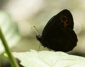 stock photo of gatekeeper  - Black and orange Gatekeeper butterfly on a leaf - JPG