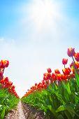 View from ground of beautiful orange tulips