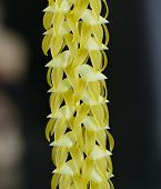 Large Dendrochilum Orchid
