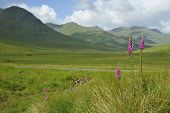pic of digitalis  - Foxgloves - Digitalis purpurea