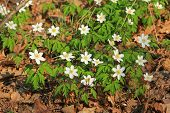 Wood anemones (Anemone nemorosa)