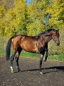 Hanoverian prancing horse portrait in autumn background