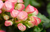 stock photo of begonias  - Close up of pink begonia blossom in botanic garden - JPG