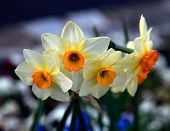Beautiful Yellow And White Narcissus Flowers