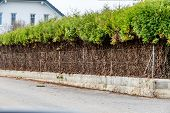 fence and green hedge, a symbol of growth, privacy, generational change