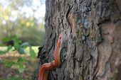 Albino Snake - Grass Snake - Ringelnatter on tree
