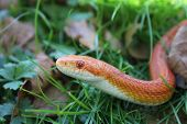 image of jungle snake  - Albino Snake  - JPG
