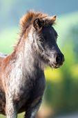 Pony head close up on summer background, Shetland pony.