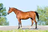 Bay horse standing on blue sky, conformation.