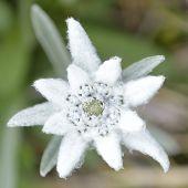 Edelweiss In Nature. Rare Alpine Flower.
